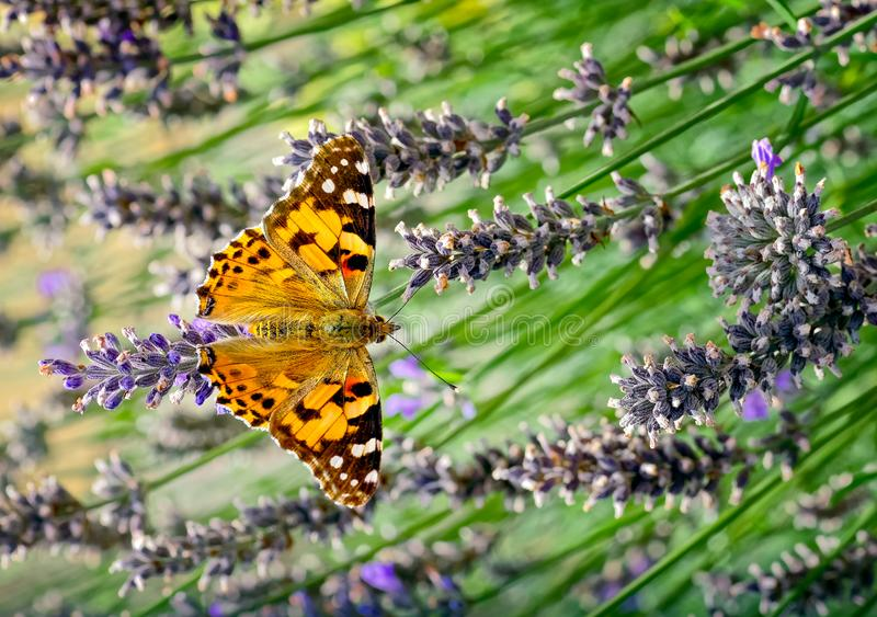 This is an image of the Painted lady butterfly, Vanessa Cynthia cardui or simply Vanessa cardui, feeding nectaring on lavender stock images