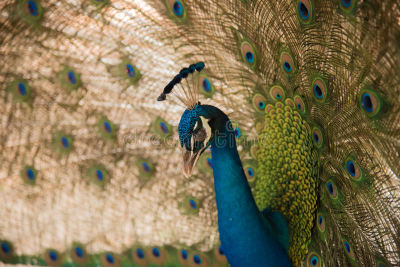 Image of a peacocks showing beautiful feathers. Photos of peacocks showing beautiful feathers royalty free stock image