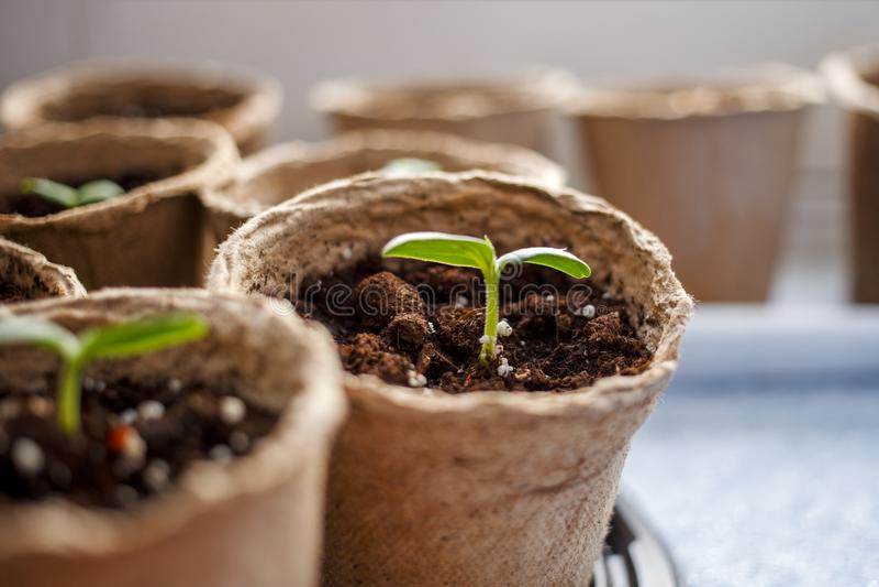 Image of peat pots with seedlings. On windowsill stock photos