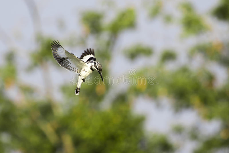 Image of Pied Kingfisher Ceryle rudis male hovering. In flight on nature background. Wild Animals stock photo