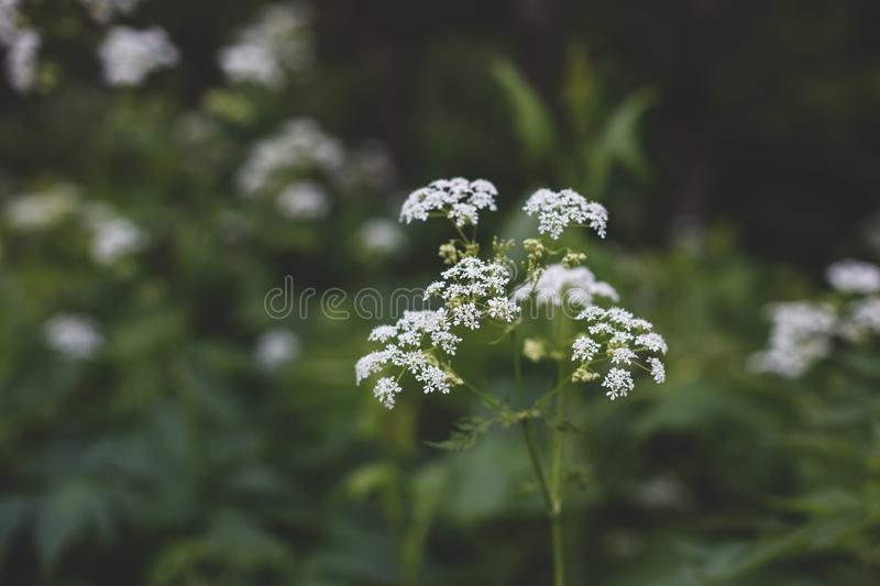 Image of The plant hemlock Umbelliferae. Background of Blossoming small white wild flowers in the forest.  stock photography