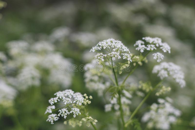 Image of The plant hemlock Umbelliferae. Background of Blossoming small white wild flowers in the forest.  stock photos