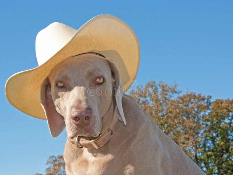 Image pleine d'humour d'un crabot de Weimaraner avec un cowboy h photos stock