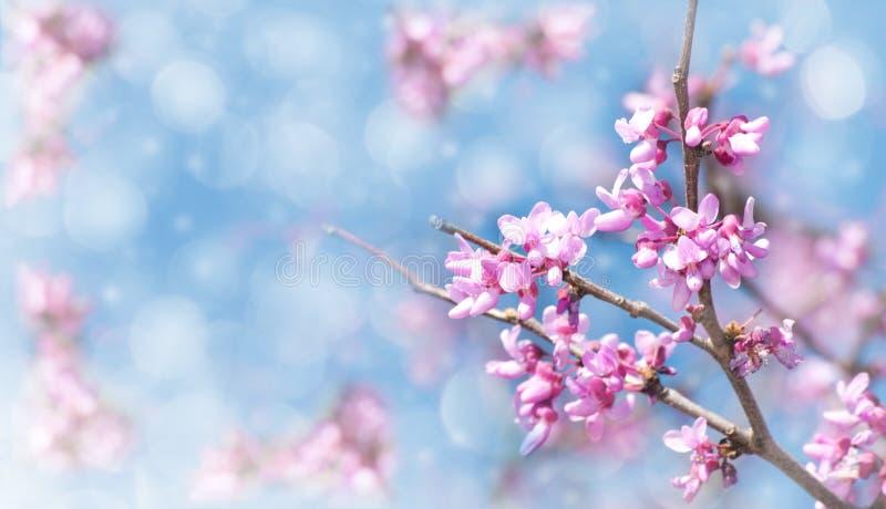 Image rêveuse d'un arbre oriental de Redbud en fleur images libres de droits