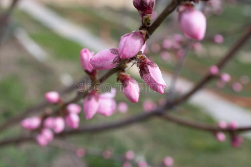 Image rêveuse d'une fleur rose sensible de pêcher au printemps Le ressort fleurit la série, floraison de pêche image libre de droits