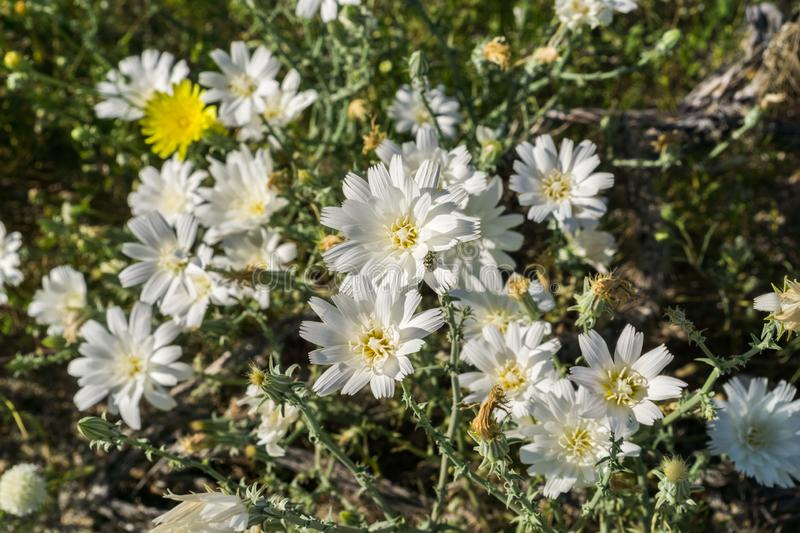 Image of Rafinesquia neomexicana wildflowers, also known as Desert Chicory, Plumeseed or New Mexico Plumeseed; Anza Borrego Desert royalty free stock images