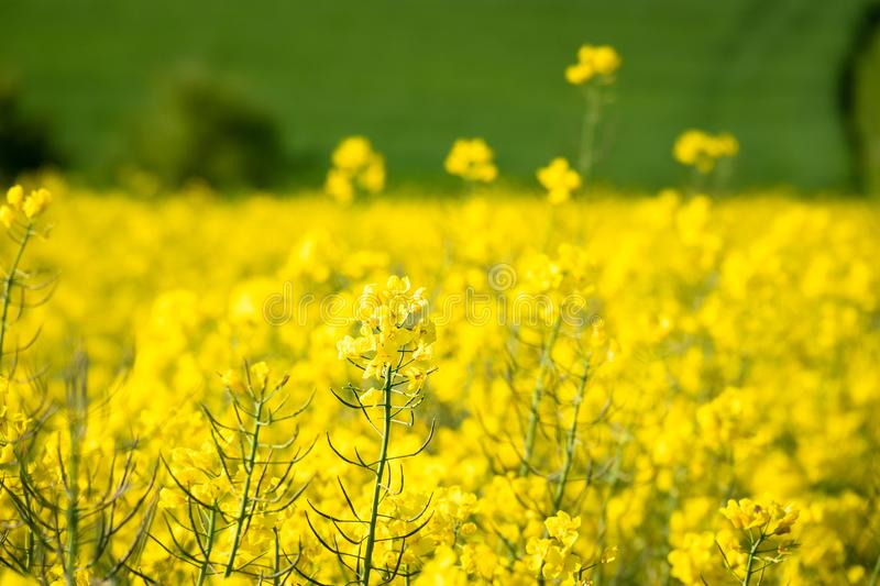 Rape field spring background. An image of a rape field spring background stock photography