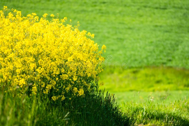 Rape field spring background. An image of a rape field spring background royalty free stock images