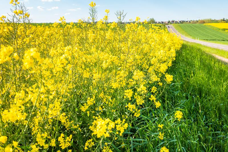 Rape field spring background. An image of a rape field spring background royalty free stock photos