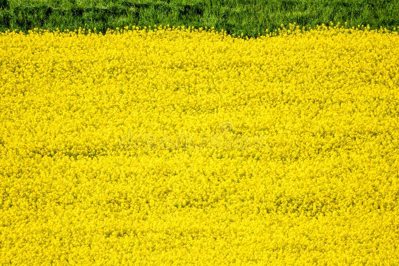 Rape field spring background. An image of a rape field spring background royalty free stock photography