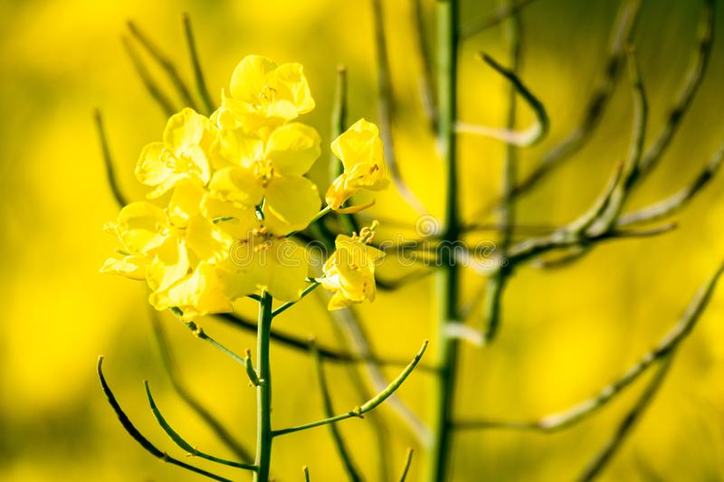 Rape field spring background. An image of a rape field spring background stock photo