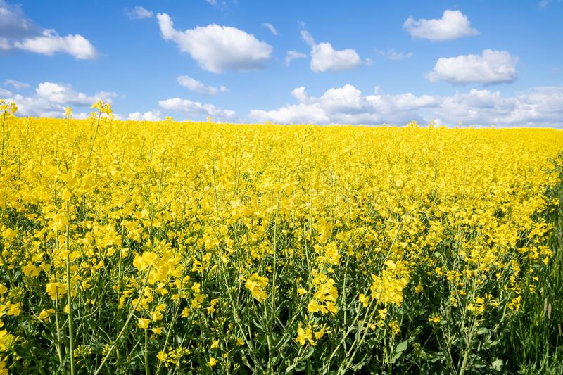 Rape field spring background. An image of a rape field spring background stock images