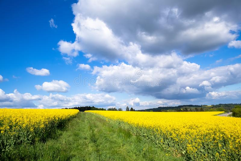 Rape field spring background. An image of a rape field spring background stock photos