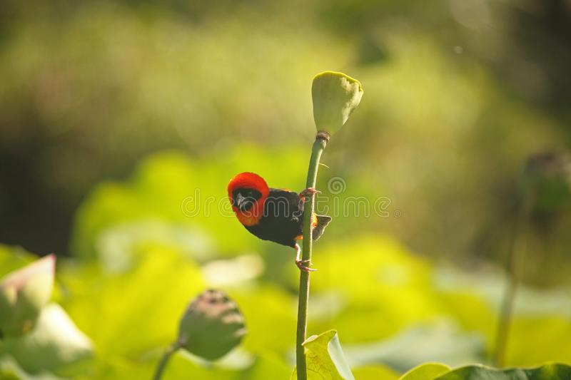 VIEW OF A SOUTHERN RED BISHOP MALE BIRD. Image of a red and black male Southern Red Bishop bird clinging to the stem of a lotus stem royalty free stock images