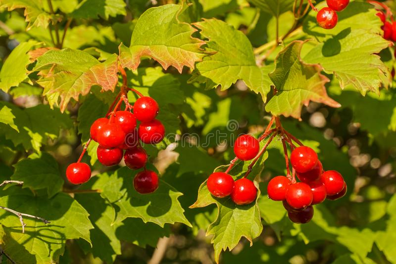 Red viburnum berries on a bush. stock photo
