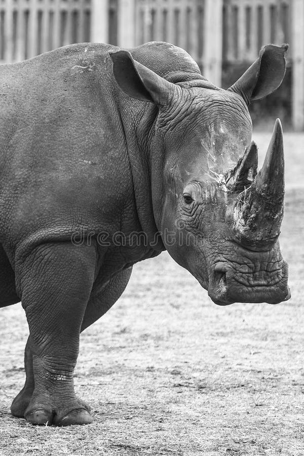 Rhinoceros. An image of a rhinoceros staring into the camera, taken in captivity stock photos