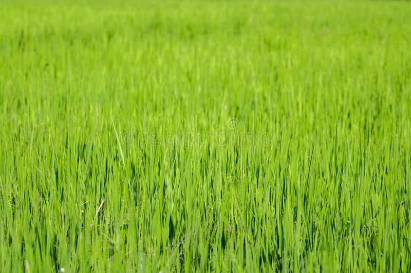 Image of rice farm, Rice field green grass. Green background.  stock photos