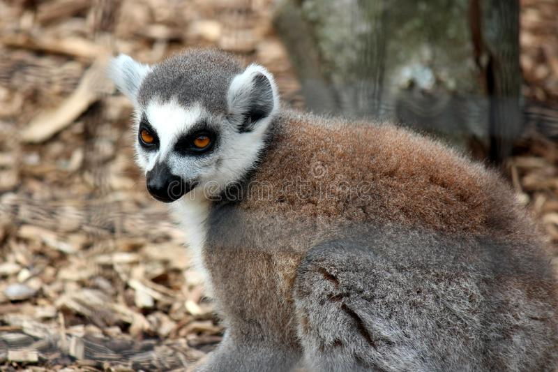 Close up image of ring tail lemur with gold eyes sitting in den, watching visitors pass by at the zoo. Image of ring tail lemur with gold eyes and masked face stock image