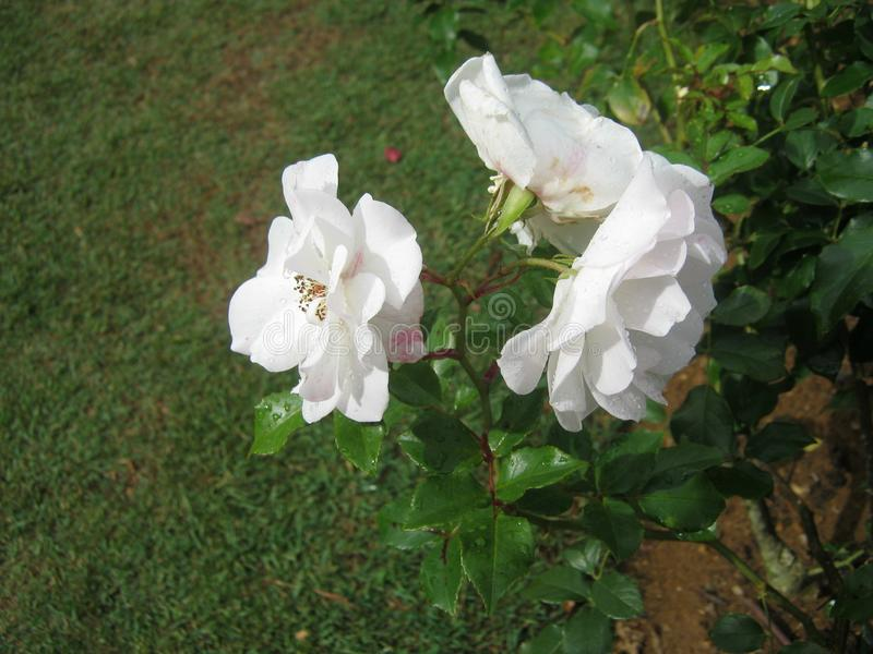 The image is rose in sri lanka. location is Haggala sri lanka royalty free stock images