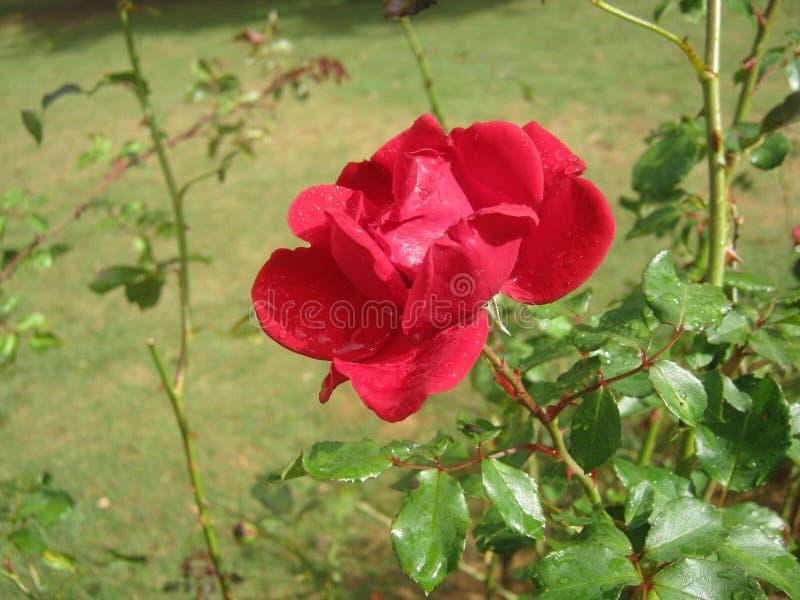 The image is rose in sri lanka. location is Haggala sri lanka royalty free stock photos