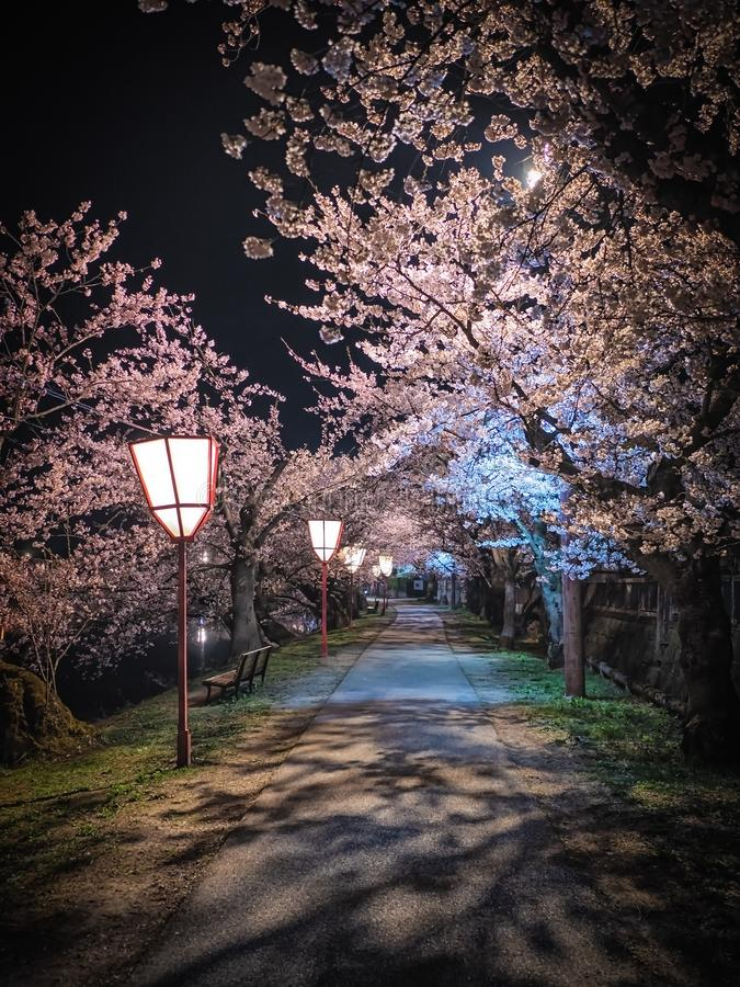 Cherry blossom at night in empty street royalty free stock photos