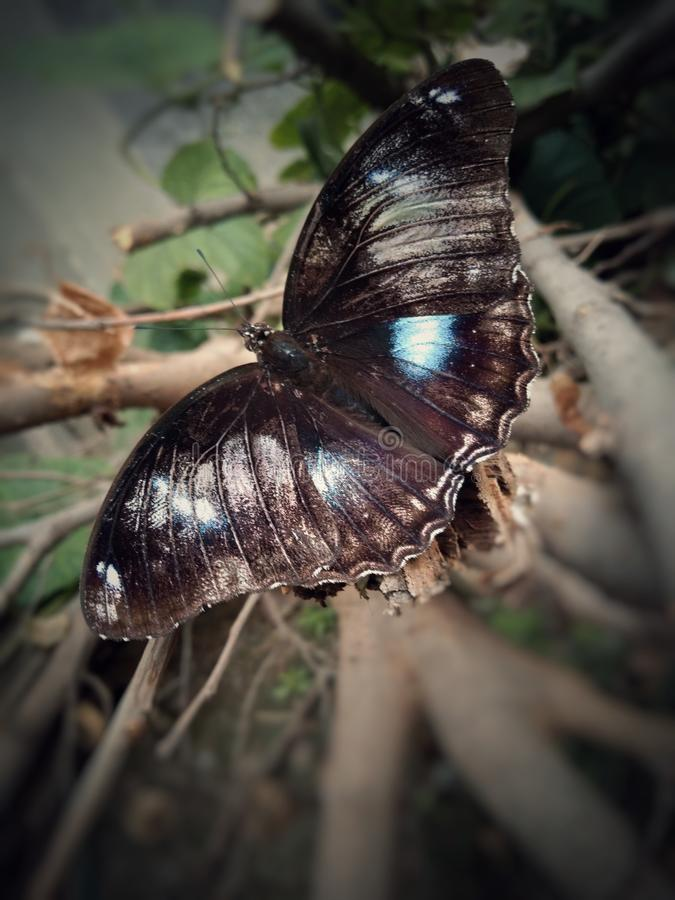 Image of a shiny black butterfly sitting on a tree branch. Magazine cover and wildlife stock photography
