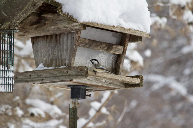 Chickadee sitting at a rustic bird feeder during a blizzard stock photography