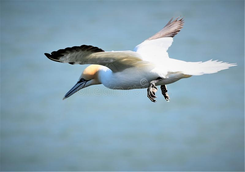 Gannet hovering over Bempton Cliffs. royalty free stock photography