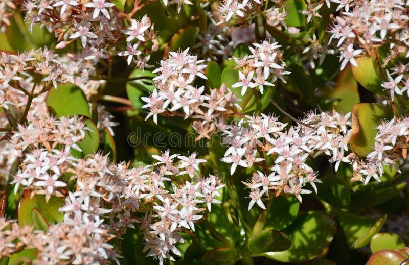 Jade plant or Crassula ovate royalty free stock photos