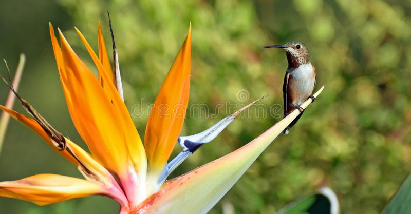 Allens Hummingbird resting on a Bird of Paradise flower. Image shows a male Allens Hummingbird (Selasphorus sasin) resting on a Bird of Paradise &#x28 stock photo
