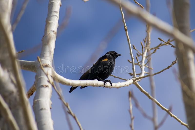 Redwing Blackbird Perched on Branch stock photo