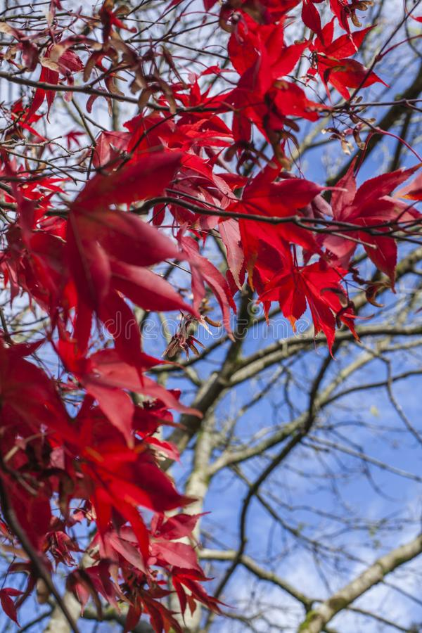 Cumbria, Lake District, England, the UK - red leaves and blue skies. This image shows some red leaves and blue skies in Cumbria, Lake District, England, the UK stock photo