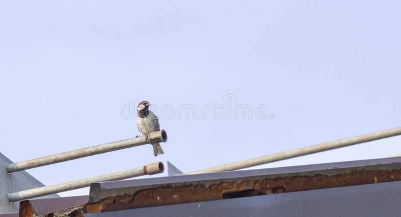 A sparrow sitting on a roof. stock photography