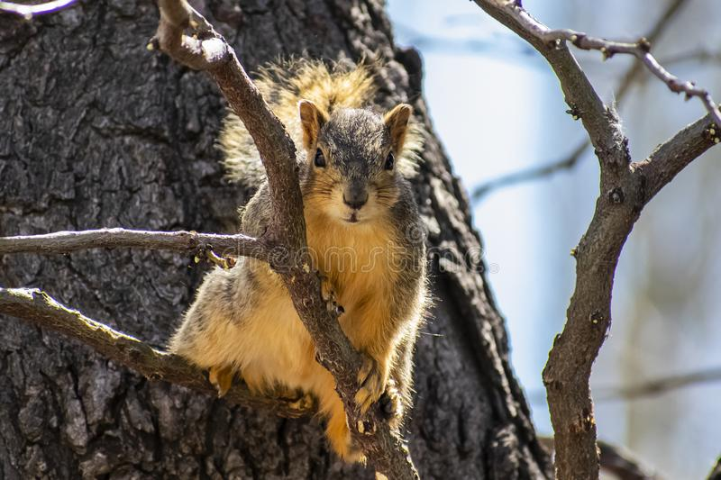 Curious Squirrel in a Tree. Image shows a Squirrel , posing in the fork of a tree. This one was especially curious, or ornery. Liked how he just sat and posed stock images