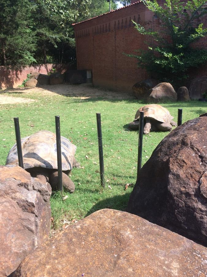 Two giant turtle and the rocks royalty free stock photography