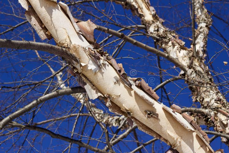 Upward view of the peeling bark on an attractive bright river birch tree with blue sky. This image shows an upward view of the peeling bark on an attractive royalty free stock photos