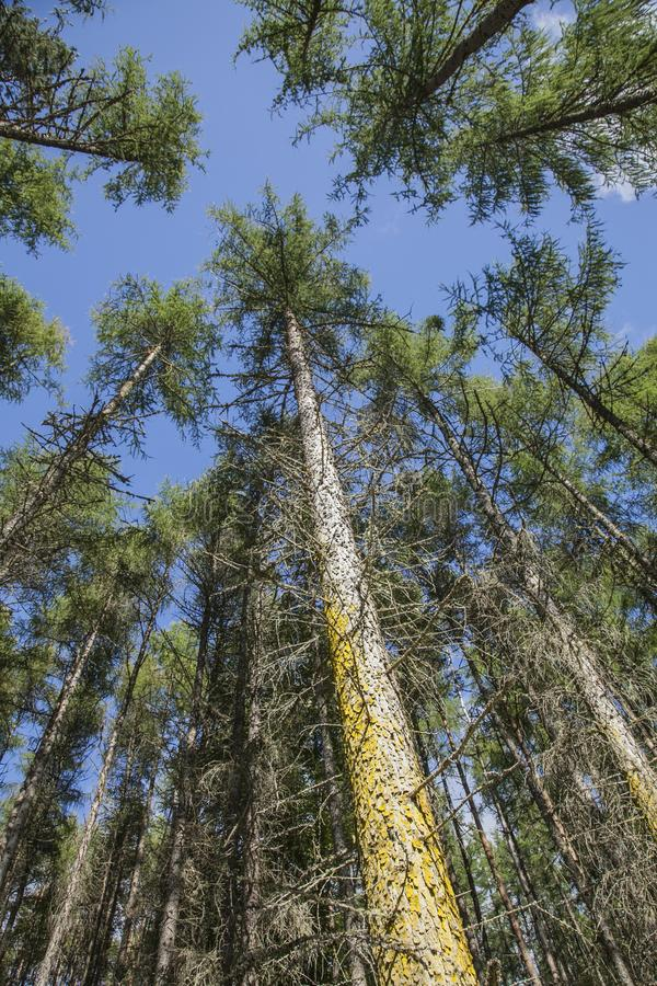 Scotland, the UK - tall trees and blue skies. This image shows a view of Scotland, the UK. It was taken on a sunny day in summer 2016. We can see some tall royalty free stock photography
