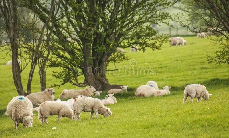 Wales, the UK - green meadows, trees and sheep. royalty free stock photo