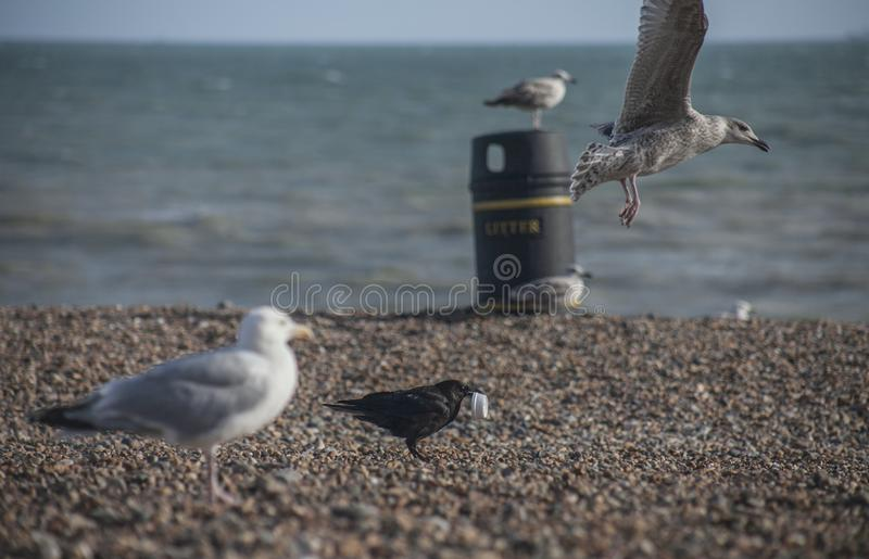 Seagulls on a beach - Brighton; sunny day in summer. royalty free stock photography