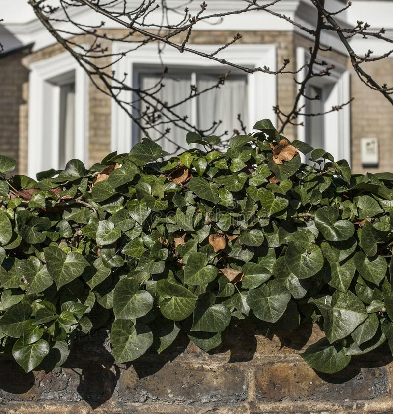 London, buildings, trees and green ivy in Balham. royalty free stock photos