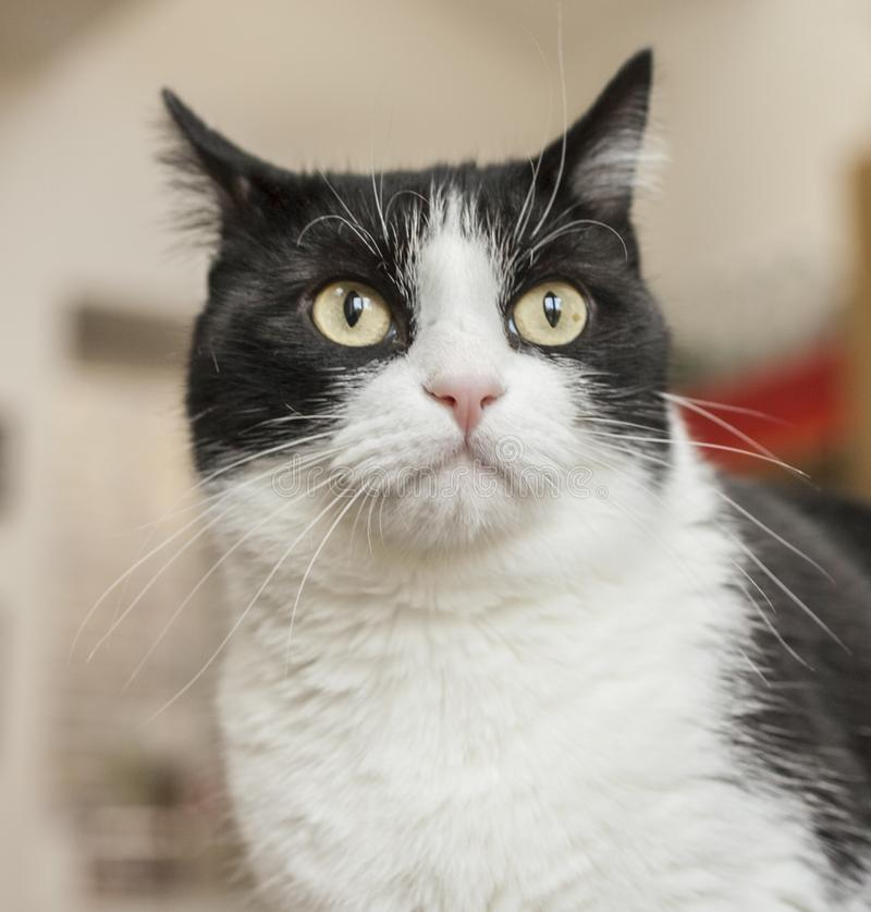 Sweepy, the white and black, a surprised look. This image shows a white and dark cat with a surprised look on his face royalty free stock photos