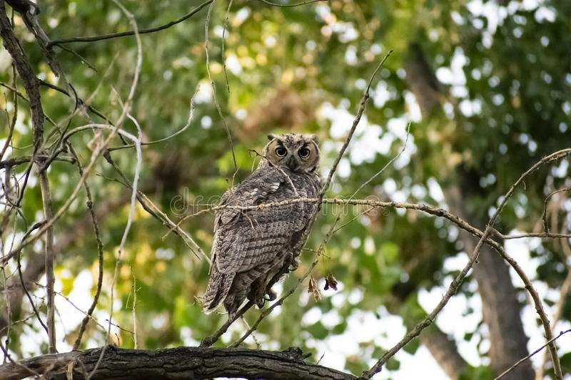 Watchful Great Horned Owl. Image shows a young Great Horned Owl amongst the foliage in a tree. I have images of this young owl, while he was still fuzzy and it royalty free stock photos