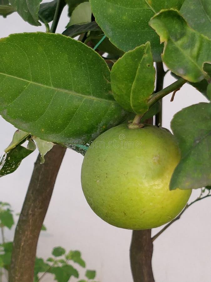 Image of a single yellowish green lemon on a lemon tree royalty free stock images