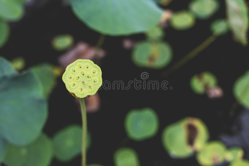 Image of A single, tall, green lotus stem, seeds, and pod, fronting a huge lotus leaf, in a thick garden setting.  stock photos
