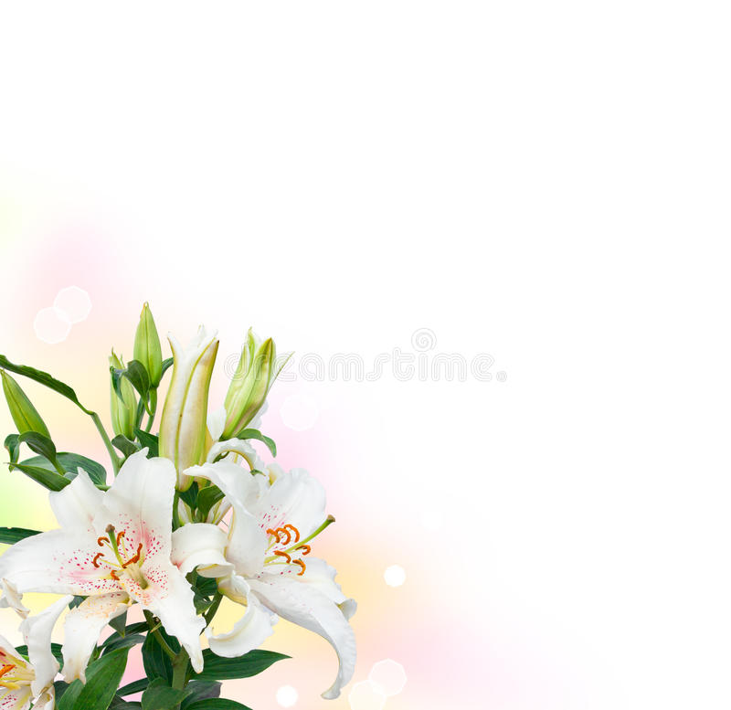 Image of the single white lily royalty free stock photography