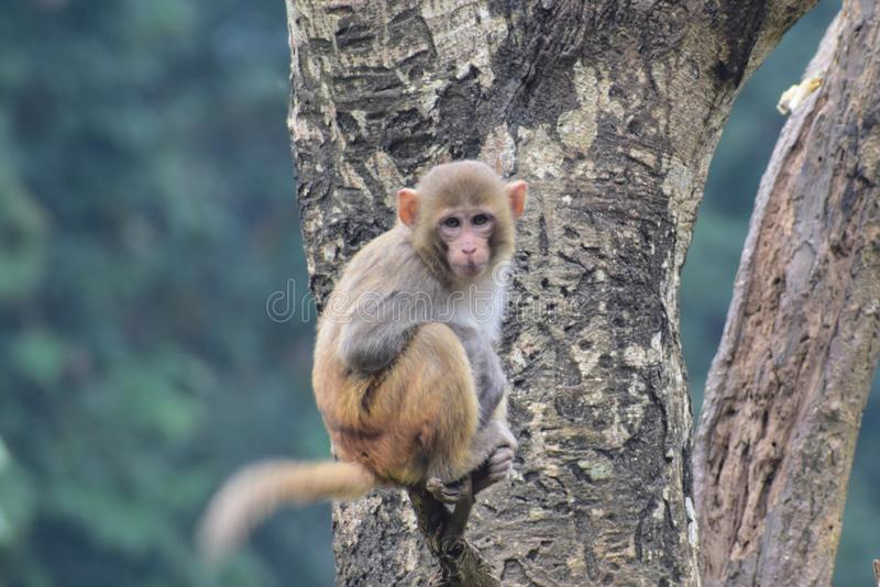 This is an image of a small monkey on the tree stock image