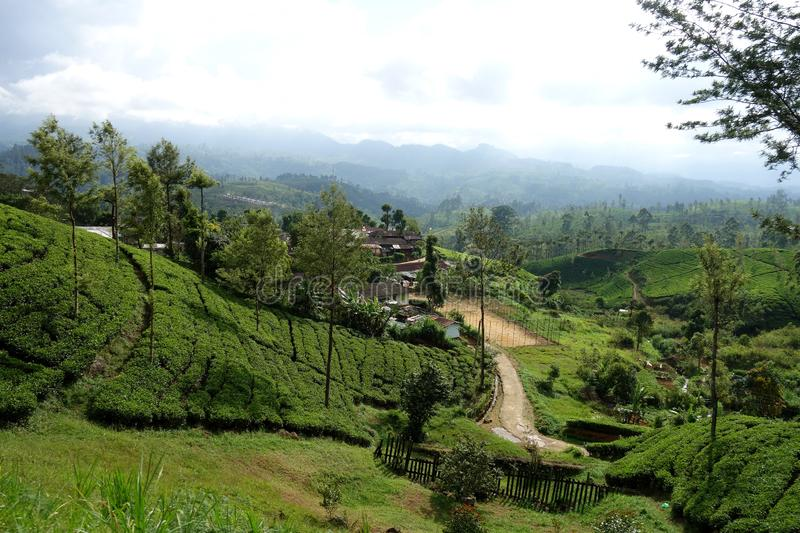 Tea Field on Rural Road Ella. An image of a small mountains dirt road in a village of Sri Lanka that is surrounded by Ceylon tea fields near Ella with dispersed royalty free stock photo