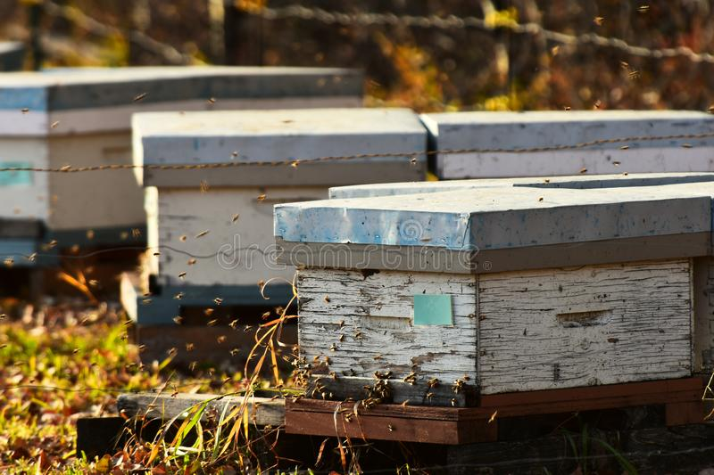 Honey Been Hives and Honey Bees. An image of small wooden honey bee hives and honey bees in late autumn royalty free stock images