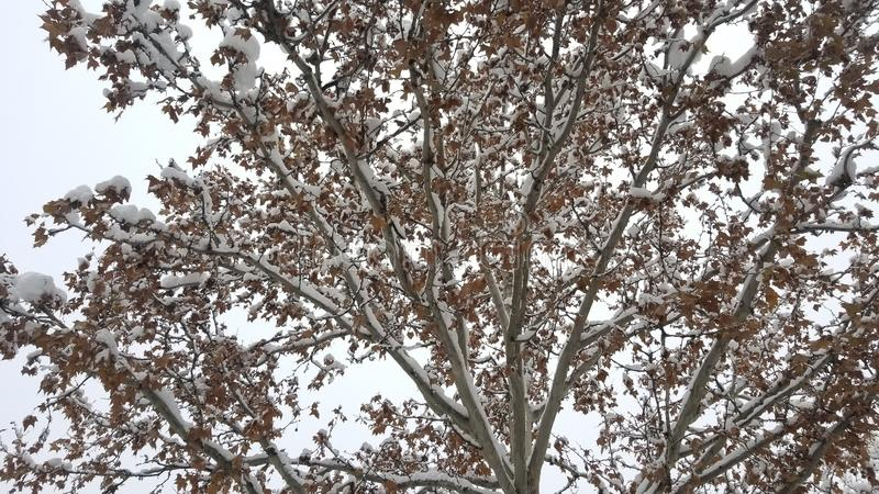 Snow on branches with leaves. This is image of Snow on branches with leaves created in southeastern europe stock image