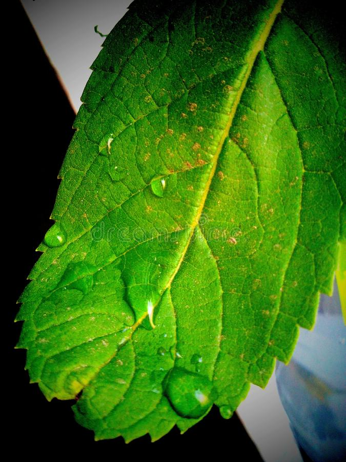 Image of a soothing green leaf. With a drop of overnight fog that embraces its beauty royalty free stock photos